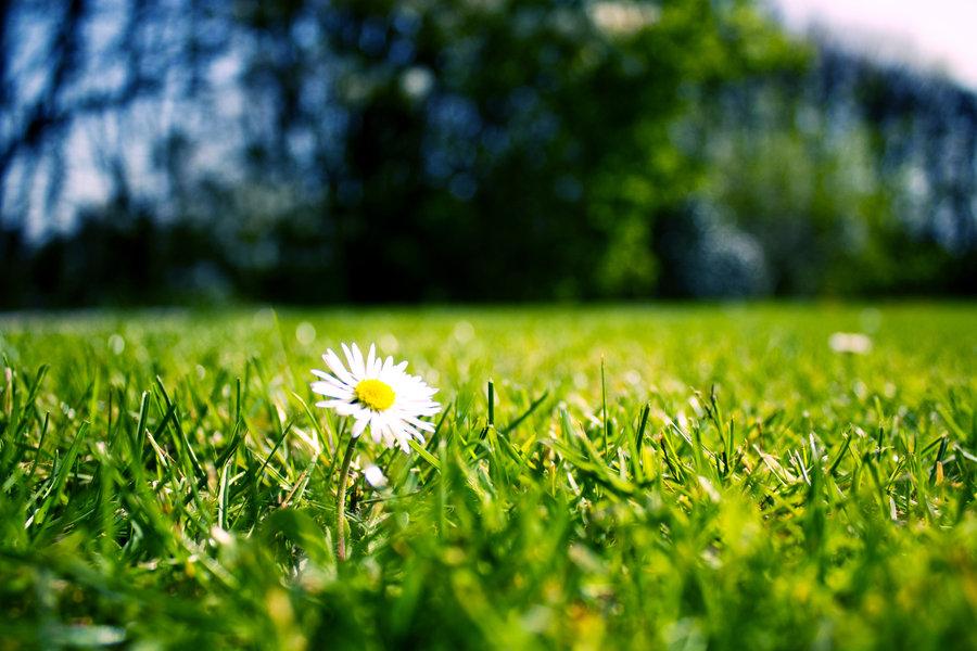 daisy_flower_by_allmightyskazi-d36e2v3